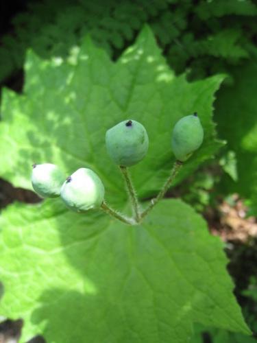 サンカヨウの果実